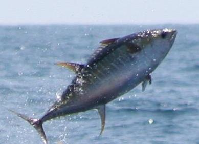 2017 18 regular season w l prediction page 6 vcu ram for Tuna fishing season